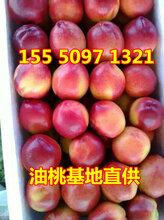 泰寧縣油桃產地誠信代辦油桃果園直供價格低圖片