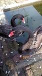 黑天鹅养殖图片