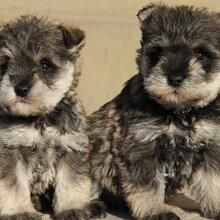 出售纯种雪纳瑞幼犬活体迷型椒盐色白胡子老头纯种赛级宠物狗狗图片