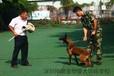 中国顶级马犬基地马犬训练养殖基地深圳翔鹏马犬训练学校