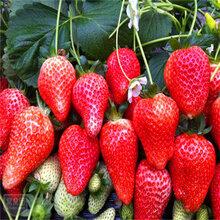 本基地草莓苗批发出售红颜章姬甜查理草莓苗现挖现卖易成活图片