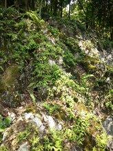美化石斛种苗、小黄草种苗、金耳环种苗、环草石斛种苗