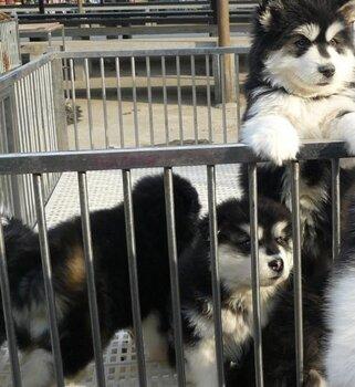 玉溪江川卖阿拉斯加江川狗场长期出售纯种阿拉斯加