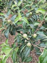泰安有鲁丽苹果苗烟富8苹果苗维纳斯黄金苹果苗图片