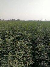 苗圃有50公分以上花椒苗低价批发大红袍花椒图片