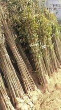 大棚香椿苗山东红油香椿苗价格图片