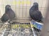 寿星鸽图片,寿星鸽一对多少钱?