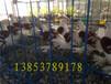 彩背观赏鸽价格,山水种鸽养殖场种类多