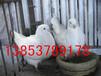 克拉玛依观赏鸽养殖观赏鸽品种观赏鸽价格
