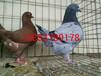 瓦灰元宝鸽市场价格观赏鸽养殖观赏鸽视频