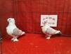 观赏鸽观赏鸽品种价格山东山水种鸽养殖场价格低