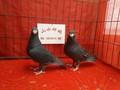 哪里有出售黑马头观赏鸽马头鸽价格图片大全图片