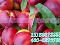 青州优质的映霜红桃苗图片