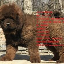 藏獒出售小藏獒出售全国藏獒出售找獒响中国藏獒基地