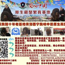 藏獒供应藏獒出售小藏獒出售尽在獒响中国原生藏獒繁育基地