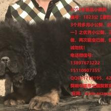 藏獒出售藏獒幼犬藏獒配種價格盡在獒響中國藏獒基地圖片