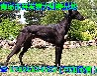 格力犬哪里养的最好格力犬带活马犬养殖价格什么狗加速最急格力犬养殖小狼狗训练