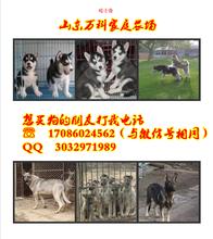 五河县惠比特犬价格北塔区马犬价格图片