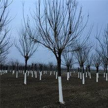 供应南阳国槐6公分国槐树老式国槐种植图片