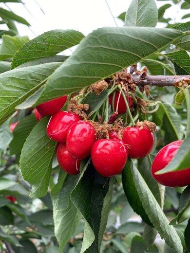 乌克兰樱桃苗供应商、乌克兰樱桃苗品种