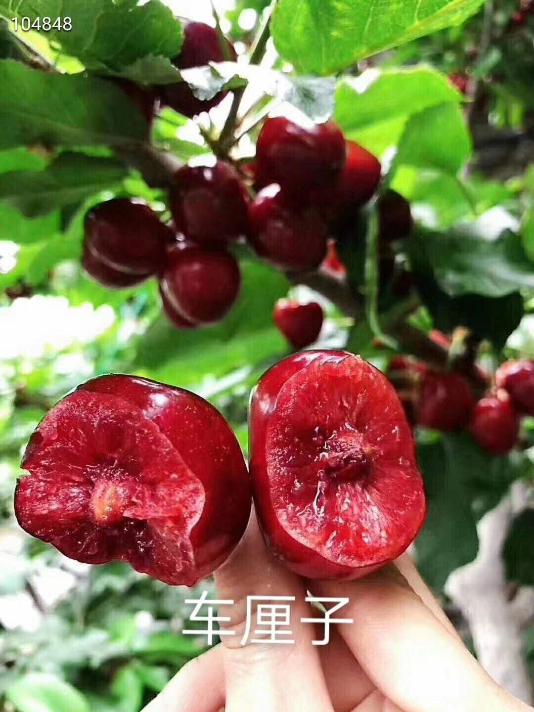 黄蜜樱桃苗价格、黄蜜樱桃苗供应商