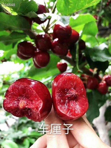 桑德拉玫瑰樱桃苗产地、桑德拉玫瑰樱桃苗价格
