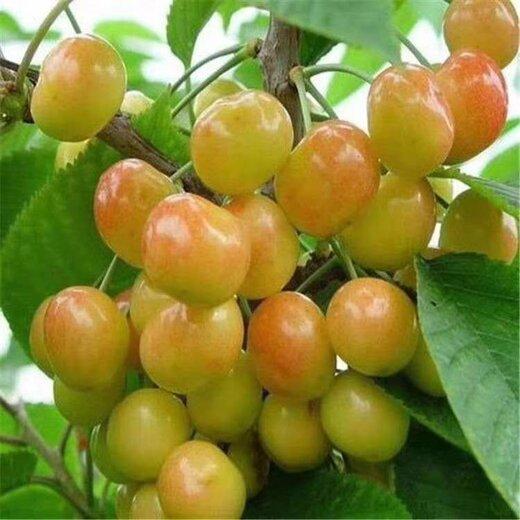 黑珍珠樱桃苗报价、黑珍珠樱桃苗基地