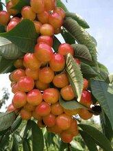大紫樱桃苗品种、大紫樱桃苗供应商图片