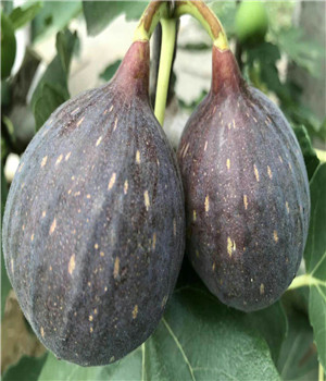达州新疆早黄无花果苗的特性