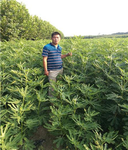中卫天线剑草莓苗价格走势
