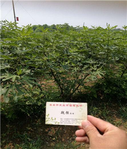 齐齐哈尔波姬红无花果苗批发种植销售