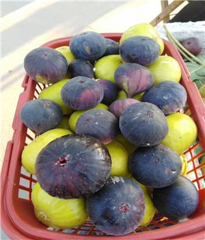 乌海红花草莓苗苗木种植知识