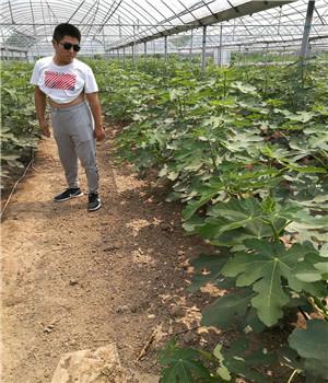 平谷红99草莓苗便宜