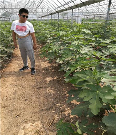 防城港隋珠草莓苗今年报价