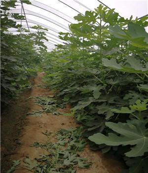 宁河雪妹草莓苗批发种植销售