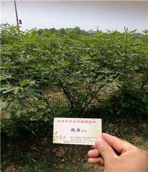 宁河雪妹草莓苗基地新报价