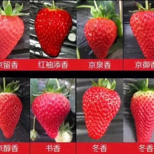 河西玛利亚草莓苗