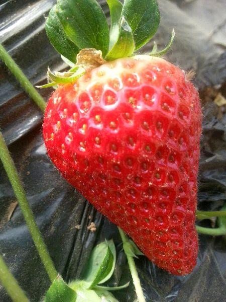 平谷红星草莓苗苗木品种问答