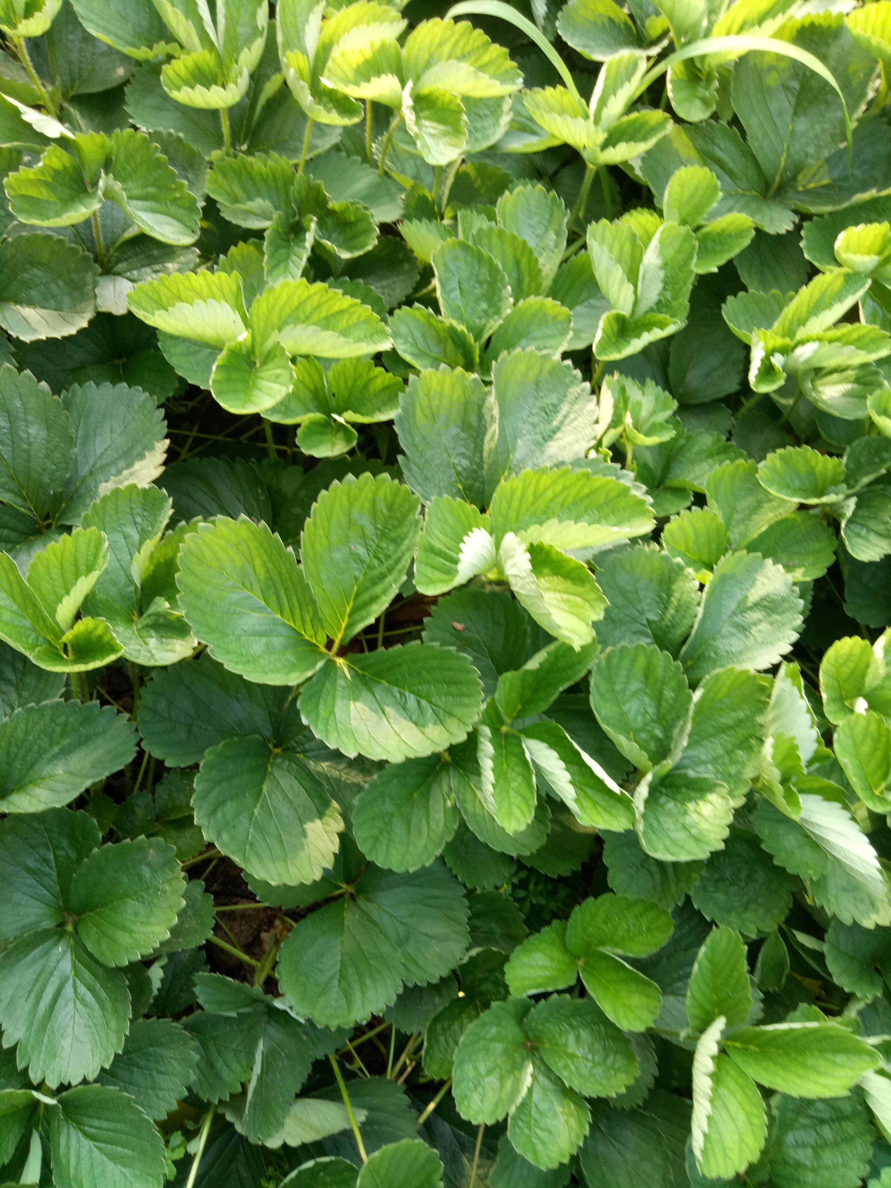 和田皇冠一号草莓苗的特性