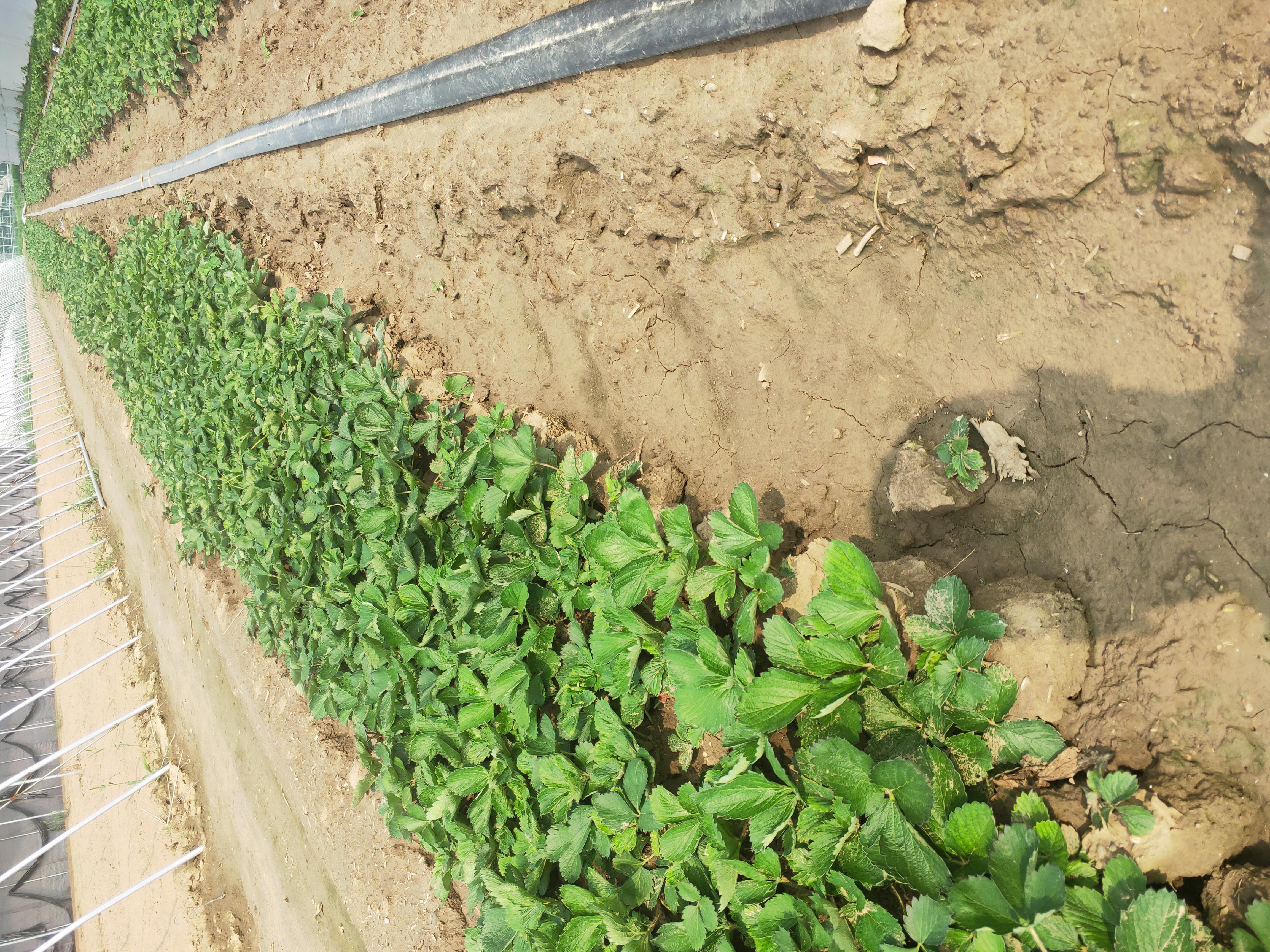 和田红实美草莓苗批发价格