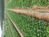 石景山土特拉草莓苗价格走势