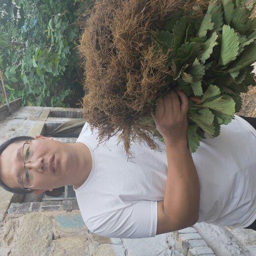 石景山燕香草莓苗便宜价格
