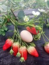 石景山京御香草莓苗今年价格