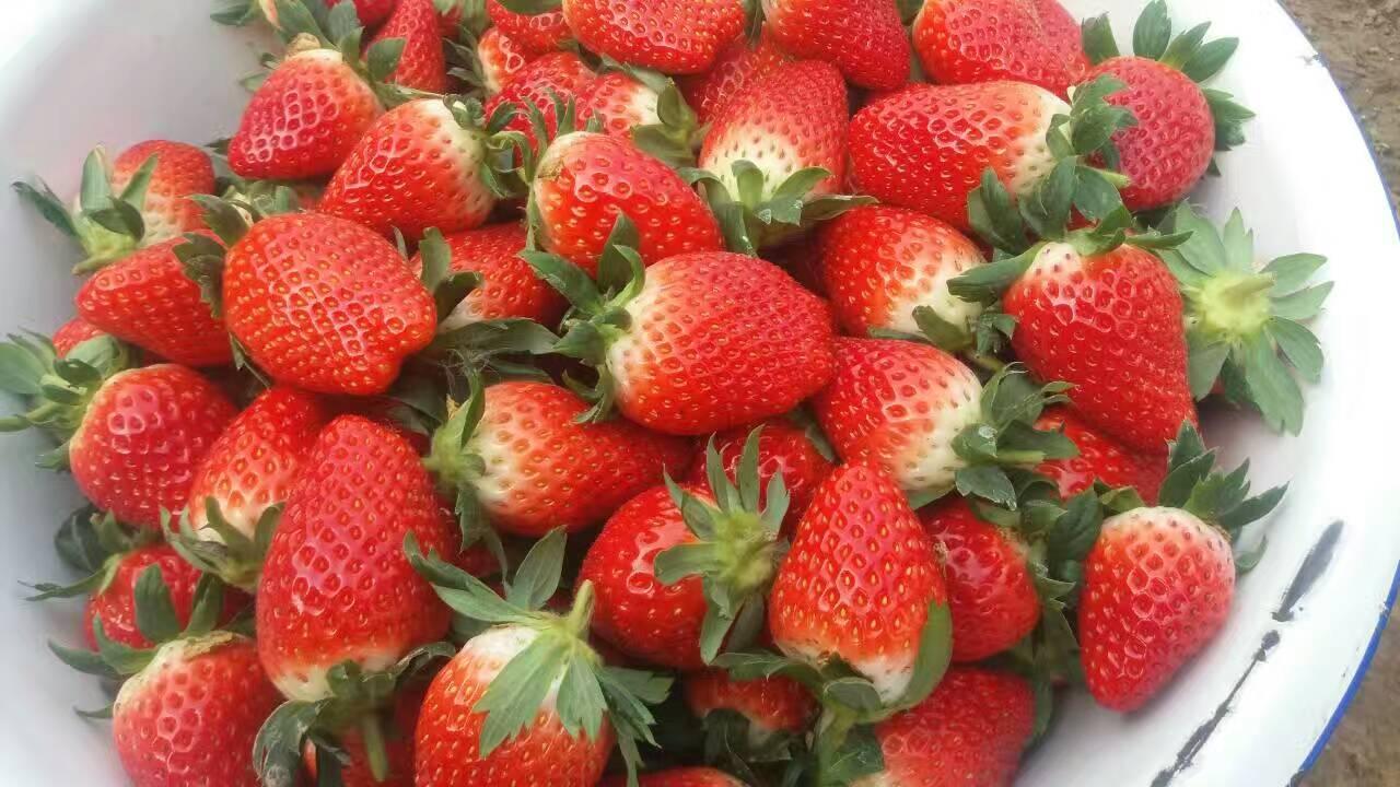 中卫七步香草莓苗产地