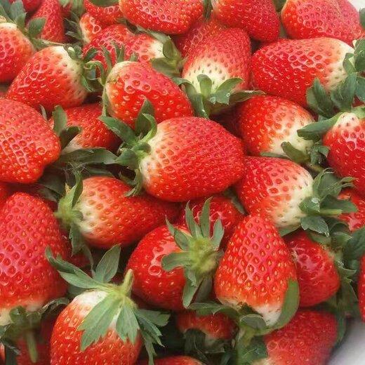 平谷红珍珠草莓苗行业动态