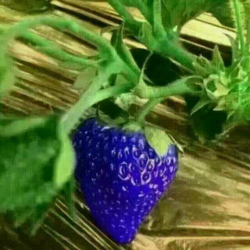和田粉红公主草莓苗现在价格