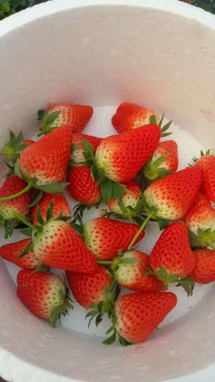 和田香蕉草莓苗批发基地