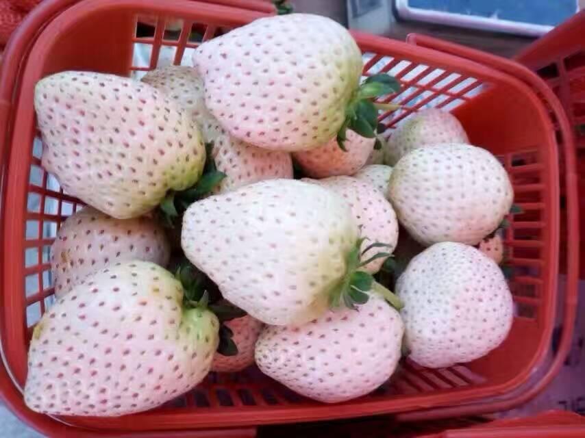 石景山夏秋草莓草莓苗产地