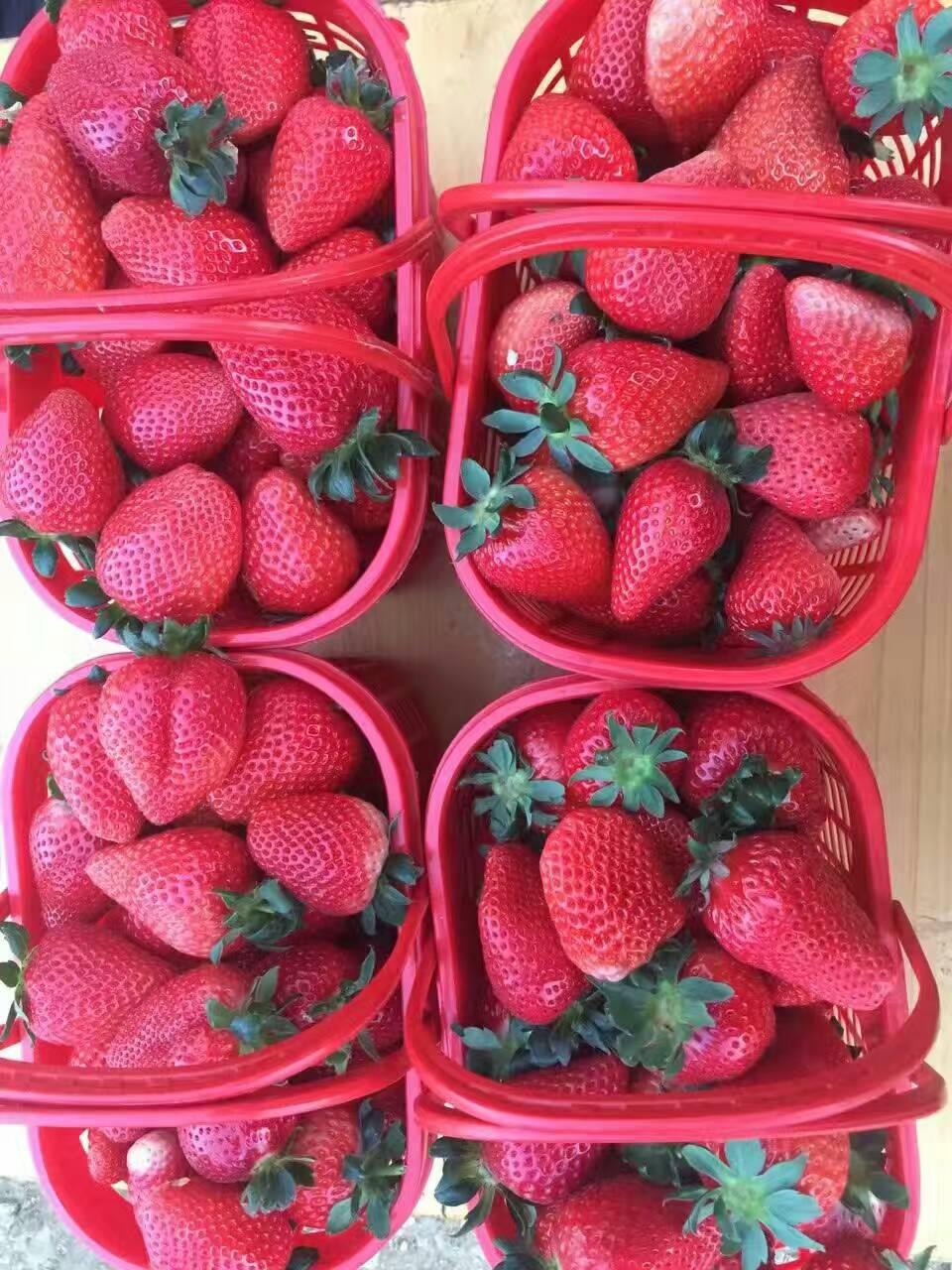 河西艾莎草莓苗价格走势图