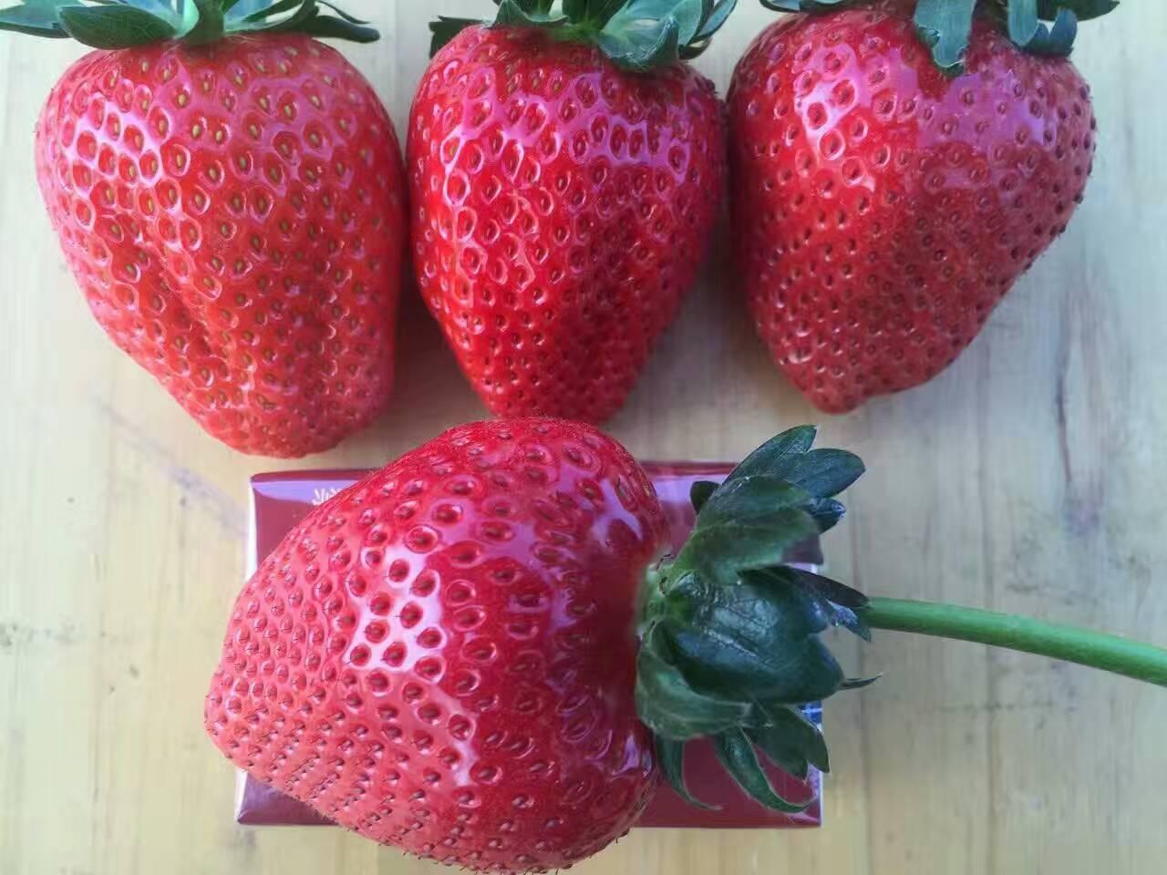 乌海土特拉草莓苗销售基地